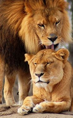 A Lions Love by JP Diroll