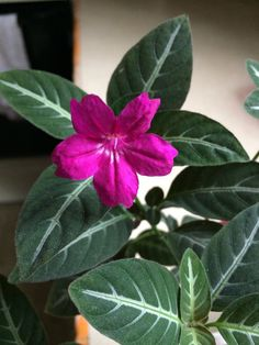 Ruellia makoyana is beginning to bloom indoors. Also known as a Monkey Plant, it's one of my favorite houseplants. Amateur Bot-ann-ist   11.7.15