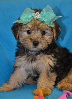 @Abby Stuckel, first thing I want when we buy our own house! I'll even let you name her ;) My little Yorkie Poo!
