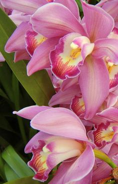photograph of pink orchids