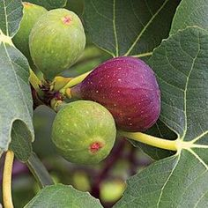 How To Grow Figs Learn how to grow figs right in your own backyard. Story by Gene B. Bussell