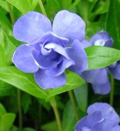 vinca minor « azurea flore pleno » ou petite pervenche double bleue azurea flore plena pot 2 litres - JARDIPLANTE