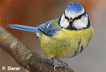 Blaumeise (mit Vogelstimme)
