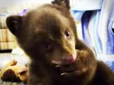 Cute Black Bear Cub Hand Raised After Being Orphaned - Animals Video