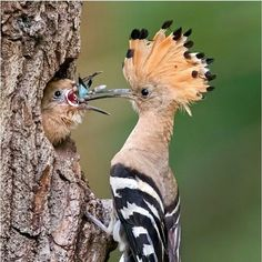 We are here to appreciate the awesome majesty and incredibly cool aspects of nature. Most Beautiful Birds, Animals Beautiful, Cute Animals, Beautiful Places, Hoopoe Bird, Rare Birds, Tropical Birds, Bird Pictures, Diy Stuffed Animals