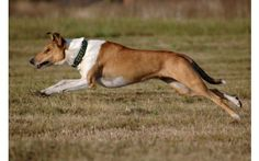 Smooth Collie dog photo | Jumping Collie Smooth Dog Photo (click to view)