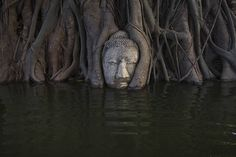 A partially submerged Buddha overgrown by a Bodhi tree in the ruins of Wat Mahathat temple, Thailand.