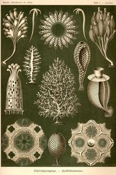"""The published artwork of Haeckel includes over 100 detailed, multi-colour illustrations of animals and sea creatures (see: Kunstformen der Natur, """"Artforms of Nature""""). This collection is currently available through public domain and we have uploaded a copy here for ease of viewing. Kunstformen der Natur"""