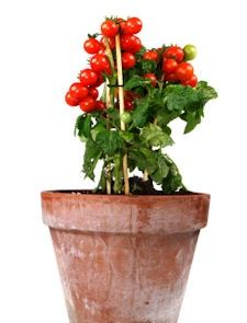 1000 images about inside gardening on pinterest grow tomatoes growing tomatoes and growing - Growing vegetables indoors practical tips ...