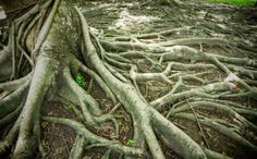 Ancestry Tree Roots