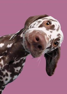 Animals And Pets, Funny Animals, Cute Animals, Bull Terriers, Husky Corgi, Corgi Puppies, Doberman Mix, Working Cocker, Farm Dogs