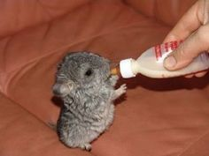 Funny pictures about A baby chinchilla. Oh, and cool pics about A baby chinchilla. Also, A baby chinchilla photos. Chinchillas, Hamsters, Rodents, So Cute Baby, Chinchilla Baby, Baby Hamster, Baby Hedgehog, Chinchilla Facts, Baby Chipmunk