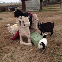 Use small children's play sets as a goat playground