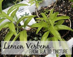 This insightful tutorial about growing and using Lemon Verbena in a homesteading kitchen will take you from drinkable tea to herbal medicine tinctures. Lemon Verbena Plant, Evergreen Vines, Hanging Herbs, Dried Lemon, Plant Labels, Lemon Balm, Growing Herbs, Growing Lavender, Medicinal Herbs
