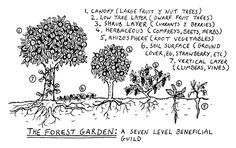 The Seven-Level Forest Garden:  1) Canopy (large fruit & nut trees)  2) Low Tree Layer (dwarf fruit trees)  3) Shrub Layer (berries & currants)  4) Herbaceous (herbs)  5) Rhizosphere (root vegetables)  6) Soil Surface (ground covers, strawberries, etc.)  7) Vertical Layer (climbers & vines, beans, etc.)