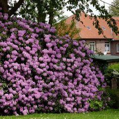 Lavender Rhododendron on Fast Growing Trees Nursery Arbor Day Foundation, Foundation Planting, Landscape Design, Garden Design, Landscape Steps, Landscape Pictures, Fast Growing Shrubs, Privacy Plants Fast Growing, Garden Shrubs