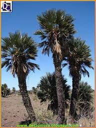 El clima es subtropical humedo con estacion seca. Las precipitaciones promedian los 1200 milimetros anuales y la temperatura media es de 23°C puede alcanzar a los 40°C en verano, los inviernos tienen dias con temperaturas bajo cero. En las extensas sabanas podemos encontrar la palmera caranday.