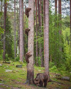 Bear mom and the cubs Finland. Photo by @villepaakkonen