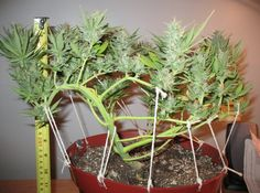 cannabis grow chart - Google Search