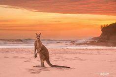 Red Roo On The Beach, Australia.