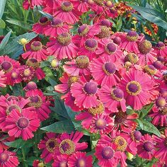 Red Jewel Helenium is a wonderful native perennial for late-season color. The 2 in. red flowers with hints of purple will certainly add excitement to the garden. This hardy perennial blooms for weeks and is particularly striking when planted end masse. Best Potted Plants, Flower Garden Plans, Spring Hill Nursery, Clematis Vine, Red Jewel, Growing Succulents, Hardy Perennials, Small Trees, Season Colors