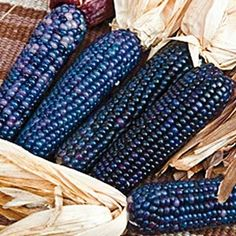Shades of Blue Ornamental Corn
