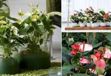 The Flamingo Flower adds an instant appeal to any indoor space! Knowing these Anthurium Plant Care tips will help you keep them flowering for long! Pothos Plant Care, How To Grow Bonsai, Pruning Hydrangeas, Snake Plant Care, Flamingo Flower, Hydrangea Not Blooming, Peat Moss, Potting Soil, Lawn And Garden