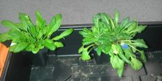 Researchers Grow Glowing Plants To Provide Natural Lighting Without Electricity -  [Click on Image Or Source on Top to See Full News]
