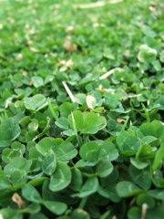 """No more mowing...ever!  I just planted Dutch white clover all over my crabgrass """"lawn"""". Clover needs a fraction of the water and will    kill any crabgrass that is stupid   enough to get in it's way! I'm fighting  fire with fire...or weeds with er..uhh...  .weeds! I'll have a beautiful lush shamrock  carpet in a month."""