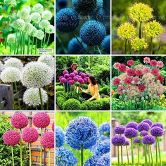 100 Purple Giant Allium Giganteum Beautiful Flower Seeds Garden Plant, budding rate 95% rare flower