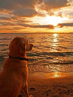 Golden retriever on the beach with the golden sunset I Love Dogs, Cute Dogs, Animals And Pets, Cute Animals, Tier Fotos, Mans Best Friend, Dear Friend, Belle Photo, Dog Life