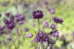 Aquilegia vulgaris 'Clementine Purple Dark' - orlíček obecný