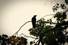 Crow in Artis, by Jorinde Reijnierse
