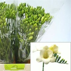 Freesia Bellina is a white single flowering variety. Stem length approx. 50cm. Wholesaled in 50 stem wraps.