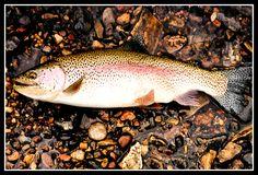 Upper Provo River - fall rainbow