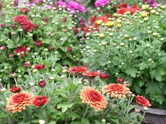 This guide on how to overwinter your plants and flowers will give you tips on overwintering geraniums, rosemary, roses, perennials, tropical plants, and trees, from The Old Farmer's Almanac.