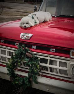 When are we going for a ride? Animals And Pets, Cute Animals, Bichon Dog, Mini Dogs, Dogs And Puppies, Doggies, Funny Dog Pictures, White Dogs, Dog Life