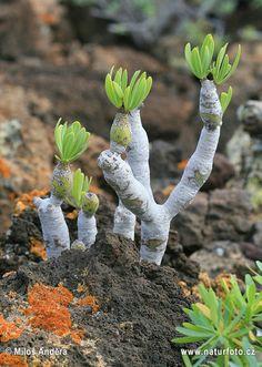 Kleinie oleandrolistá - Kleinia neriifolia Biomes, Garden Sculpture, Herbalism, Dreams, Outdoor Decor, Plants, Flora, Plant, Herbal Medicine