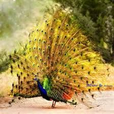 Image result for real red peacock