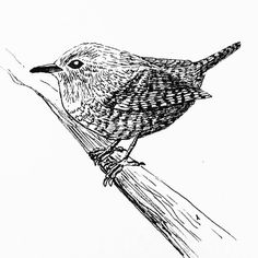 A winter wren for my daily drawing 54   #dailydrawing #drawing #ink #inkdrawing #bird #ilovebirds http://ift.tt/2gfWIFo A winter wren for my daily drawing 54  dailydrawing drawing ink inkdrawing tumblr bird ilove