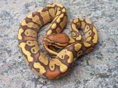 Caramel Albino Yellow Belly Ball Python