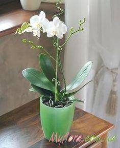 Золотые часы ника орхидея размножение и уход фото и видео