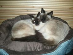 Ours are Tookie and Casey. My twin balinese siamese. Harley and dave