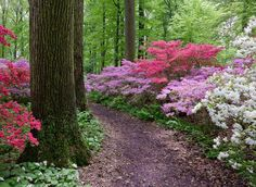More than beautiful azaleas of several colors. So, so pretty!! I pin the things I love!!
