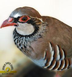 Perdiz Roja (Alectoris rufa) Bird, Animals, Partridge, Hens, Birds, Products, Animales, Animaux, Animal