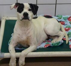 "HARLA, 10-14-16, ""Cell Dog 45762"" - URGENT - THE ANIMAL SHELTER SOCIETY INC. in Zanesville, OH - ADOPT OR FOSTER - 2 year old Spayed Female Boxer Mix"