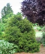 Twisted Hinoki Cypress (Chamaecyparis obtusa 'Torulosa') - Monrovia - Twisted Hinoki Cypress (Chamaecyparis obtusa 'Torulosa')