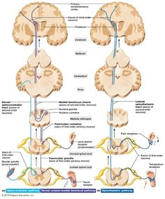 Pathways of selected ascending spinal cord tracts. Cross sections up to the cerebrum, which is shown in frontal section.