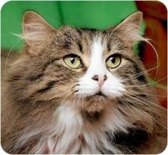 Brandy is an adoptable Domestic Medium Hair Cat in Saint Charles, MO. Brandy needs a nice quiet adult household. She likes to play with catnip bubbles and take naps in her cat bed.   http://www.petfinder.com/petdetail/12858003