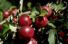 How Apple Varieties Affect Cider Flavor